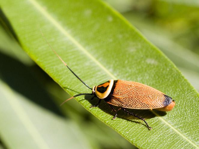 Bush_Cockroach