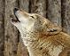 fox howling