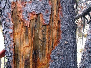 mountain pine beetle damage